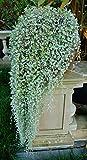 Dichondra Silver Falls aka Dichondra argentea Live Plant - Indoor Live Plant Fit 1QRT Pot