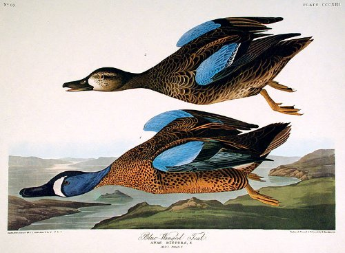 Blue-winged Teal. From''The Birds of America'' (Amsterdam Edition) Pl. 313 by