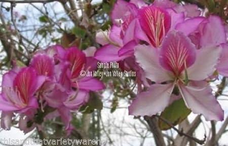 Spectacular Blooms Easy Small Tree Bauhinia purpurea Purple Orchid Tree Seeds