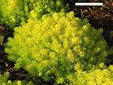 Classy Groundcovers, Sedum rupestre 'Lemon Ball' S. reflexum, S. pinifolium, S. pruniatum, Petrosedum reflexum (25 Pots, 3 1/2 inches Square)
