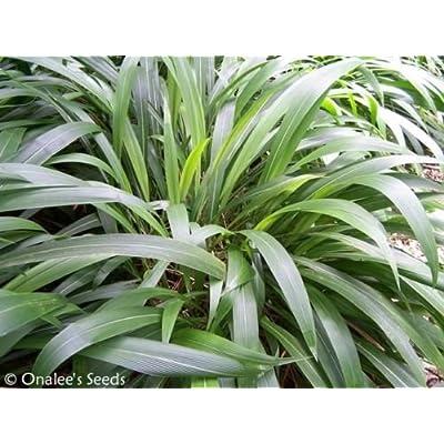 50+ Palm Grass Seeds (Setaria Palmifolia) Ornamental Grass, Tropical Shade : Garden & Outdoor