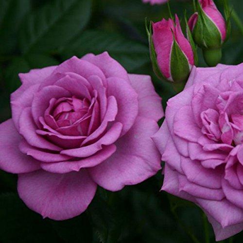 Lavender Veranda Rose Bush Reblooming Purple Fragrant Rose Grown Organic Potted - 35+ Petal Flowers! by Stargazer Perennials