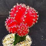 Gymnocalycium mihanovichii hibotam red Cactus Cacti Succulent Real Live Plant