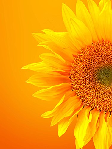 12 X 16 INCH / 30 X 40 CMS SINGLE SUNFLOWER BLOOM ORANGE YELLOW PHOTO FINE ART PRINT POSTER HOME DECOR PICTURE BMP773B