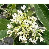 Fragrant Tea Olive (Osmanthus Fragrans) - Live Plant - Quart Pot