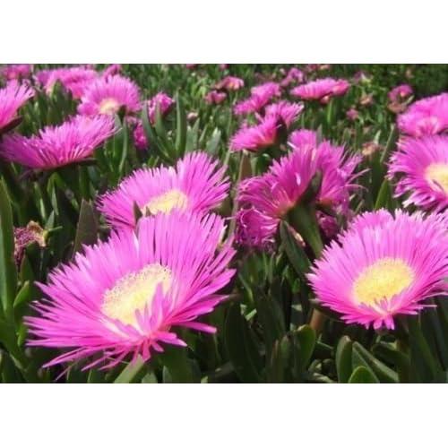 Cheap Carpobrotus edulis rare mesembryanthemum exotic succulent mesembs seed 100 SEEDS supplier
