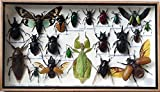 REAL PHYLLIUM SICIPHOLIUM AND MIX INSECT TAXIDERMY SET IN BOXES DISPLAY