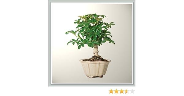 Bonsai Tree Dwarf Jade Nursery Direct from Joebonsai