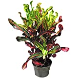 AMPLEX Mammy Croton Live Plant, 1 Gallon, Indoor/Outdoor