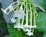 1/4 gram seeds of Nicotiana sylvestris Starfall Lonely Flower