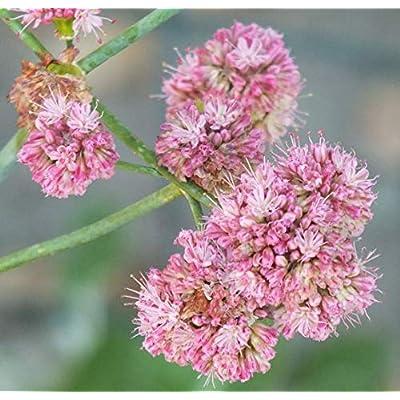 100 Seeds Eriogonum Grande rebescens (Red Buckwheat) : Garden & Outdoor