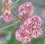 100 Seeds Eriogonum Grande rebescens (Red Buckwheat)