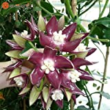 Hoya Seeds,Potted Hoya Carnosa Flower Seed Orchid Seeds 100 Seeds (item no: 23)