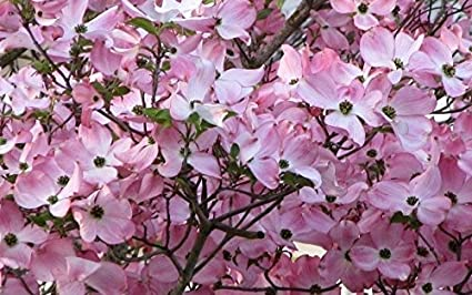 Amazon 2 pink dogwood tree garden outdoor 2 pink dogwood tree mightylinksfo
