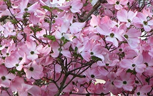 2 Pink Dogwood Tree