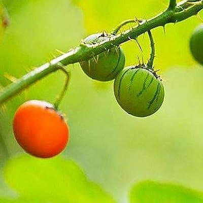HOTUEEN Litchi Tomato Seeds Home Garden Organic Fruit Vegetable Plants Fruits : Garden & Outdoor