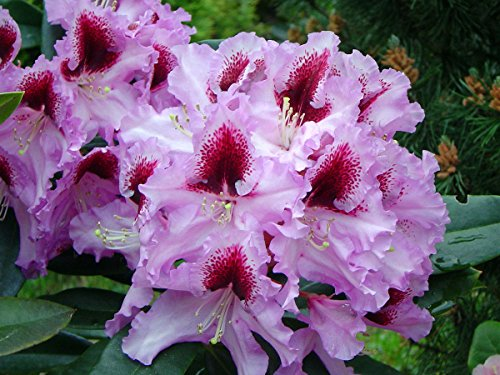 rhododendron-kabarett-second-year-plant-4-container