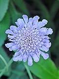 "'Bulk' Butterfly Blue PINCUSHION ""Scabiosa"" 150+Perennial Seeds"