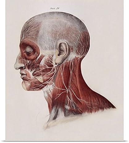 Amazon.com: Sheila Terry Poster Print entitled Facial nerves ...