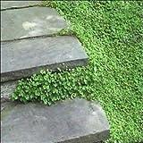 Kenilworth Ivy Seeds (Cymbalaria Muralis) 400+Seeds