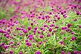 25 seeds Beautiful Purple Gomphrena!