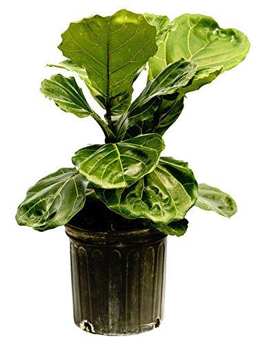 PlantVine Ficus lyrata, Fiddle Leaf Fig - XL (4-5ft), Bush - 12-14 Inch Pot (7 Gallon), Live Indoor Plant by PlantVine (Image #2)