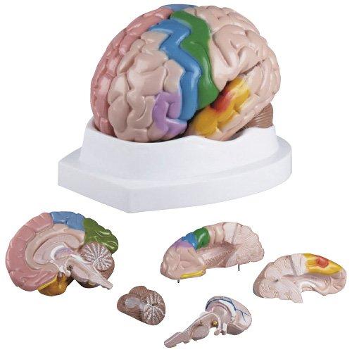 人気沸騰ブラドン 脳5分解モデル C222 C222 5(24-5094-00)【エルラージーマー社 B06X8ZXD7V】[1個単位] B06X8ZXD7V, 積丹町:e270e1b2 --- a0267596.xsph.ru