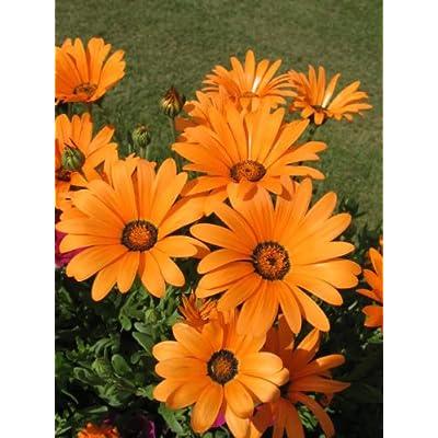 1000 MIXED AFRICAN DAISY (Cape Marigold / Sun Marigold) Dimorphoteca Sinuata Flower Seeds : Flowering Plants : Garden & Outdoor