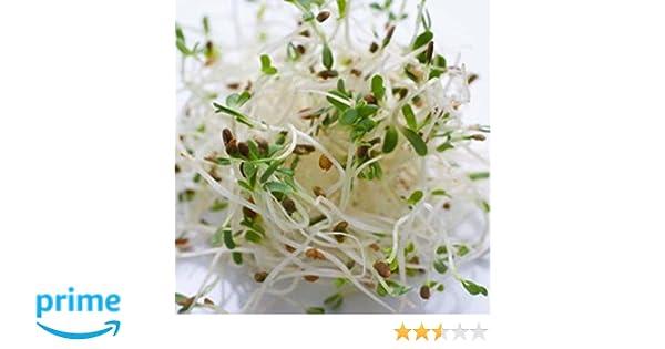 Sprouting Alfalfa Organic Great Heirloom Vegetable 50,000 Seeds Bulk Wholesale