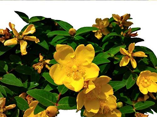 1 St. John's Wort/Hypericum 'Hidcote' 30-40cm Tall Plant In 2L Pot 3fatpigs beechwoodtrees 3fatpigs®