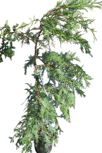 Cupressocyparis leylandii (Green) - Common Leylandii- Approx 3' Tall Olive Grove