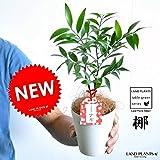 LAND PLANTS 縁結びの木 梛(ナギ) 白色プラスチック鉢 4号サイズ