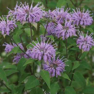 David's Garden Seeds Herb Wild Bergamot SL827A (Purple) 200 Open Pollinated - Bergamot Herb