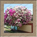 bougainvillea spectabilis seeds, bougainvillea bonsai tree seeds, bougainvillea flower seeds 100 pcs / pack