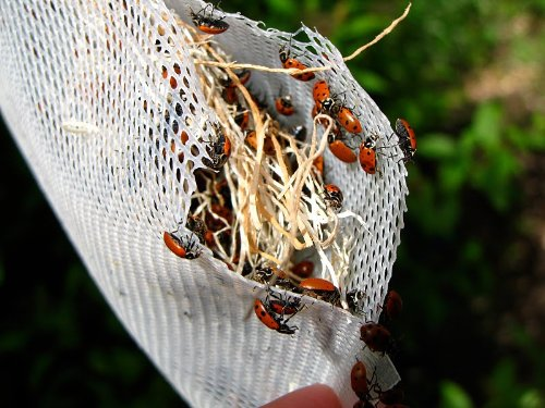 Praying Mantis Egg Case with Hatching Habitat Cup - 3 Praying Mantids Egg Cases & 1,500 Live Ladybugs by Bug Sales (Image #2)