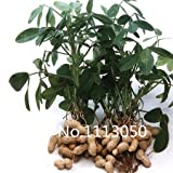 100pcs Perennial peanut Seeds World Hottest Vegetable Seeds Garden Bonsai Seeds mix colors Free Shipping
