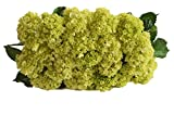 Farm2Door: 25 Stems of Select Mini Green Hydrangeas from Colombia - Farm Direct Wholesale Fresh Flowers