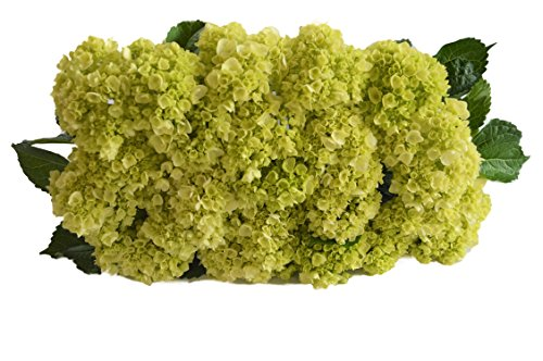 Farm2Door: 25 Stems of Select Mini Green Hydrangeas from Colombia - Farm Direct Wholesale Fresh Flowers by Farm2Door