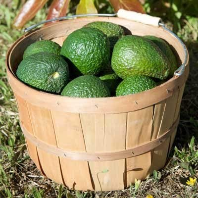 Cold Hardy Avocado Tree - (Mexicola Grande) - Get Delicious Avocados Year Round from This Fruit Tree by Brighter Blooms Nursery - 3-4 ft. by Brighter Blooms (Image #3)