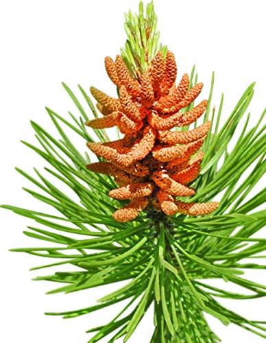 (Homegrown Pine Tree Seeds, 100 Seeds, Lodgepole Pine)