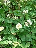 graines de trèfle blanc à semer pour tortues ou jardin 100 grammes