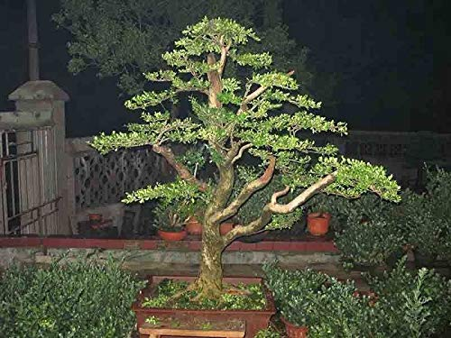 Casavidas Seeds Package: 240: 240 Rare Seeds Bonsai Japanese Buxus Perennial Tree Green Boxwood Shrub Seedss