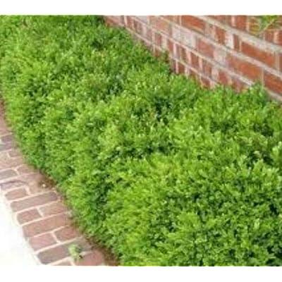 Live Plant - Quart Pot - Wintergreen Korean Boxwood Live Shrub Plant for Garden #RR07 : Garden & Outdoor
