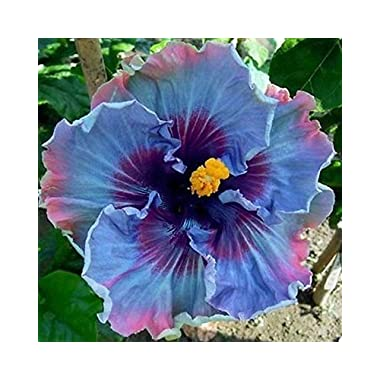 FAIRY DUST HIBISCUS1-2 FT PLANT HUGE BLOOMS FLOWERING SHRUB HIBISCUS