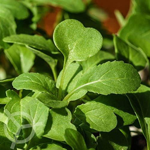 Rucola Coltivata Esmee zaden biologisch Eruca sativa 01 g