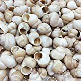 PEPPERLONELY Small Land Snail Sea Shells, 4 OZ
