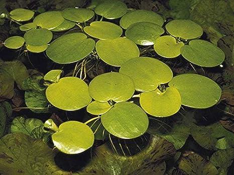 Plantas De Acuario En Vivo 1 X Amazon Sudamericana Limnobium Laevigatum