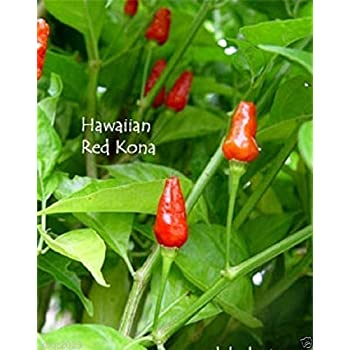 HAWAIIAN RED KONA -30 Pepper Seed, Capsicum frutescens,Extremely Hot Heirloom .