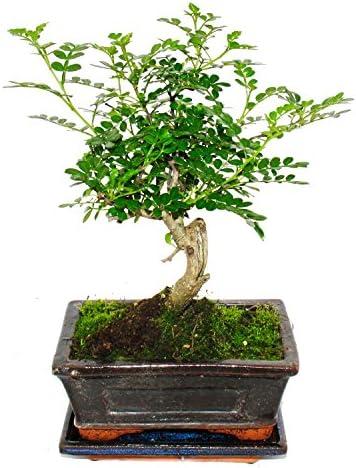 Bonsai Szechuan pepper - Zanthoxylum piperitum - approx. 6 years - spherical shape