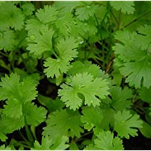 HERB SEEDS: CILANTRO - CORIANDER - 20 Seeds, Broad Range Cooking Uses - High Germination & Quality - Fresh Seed